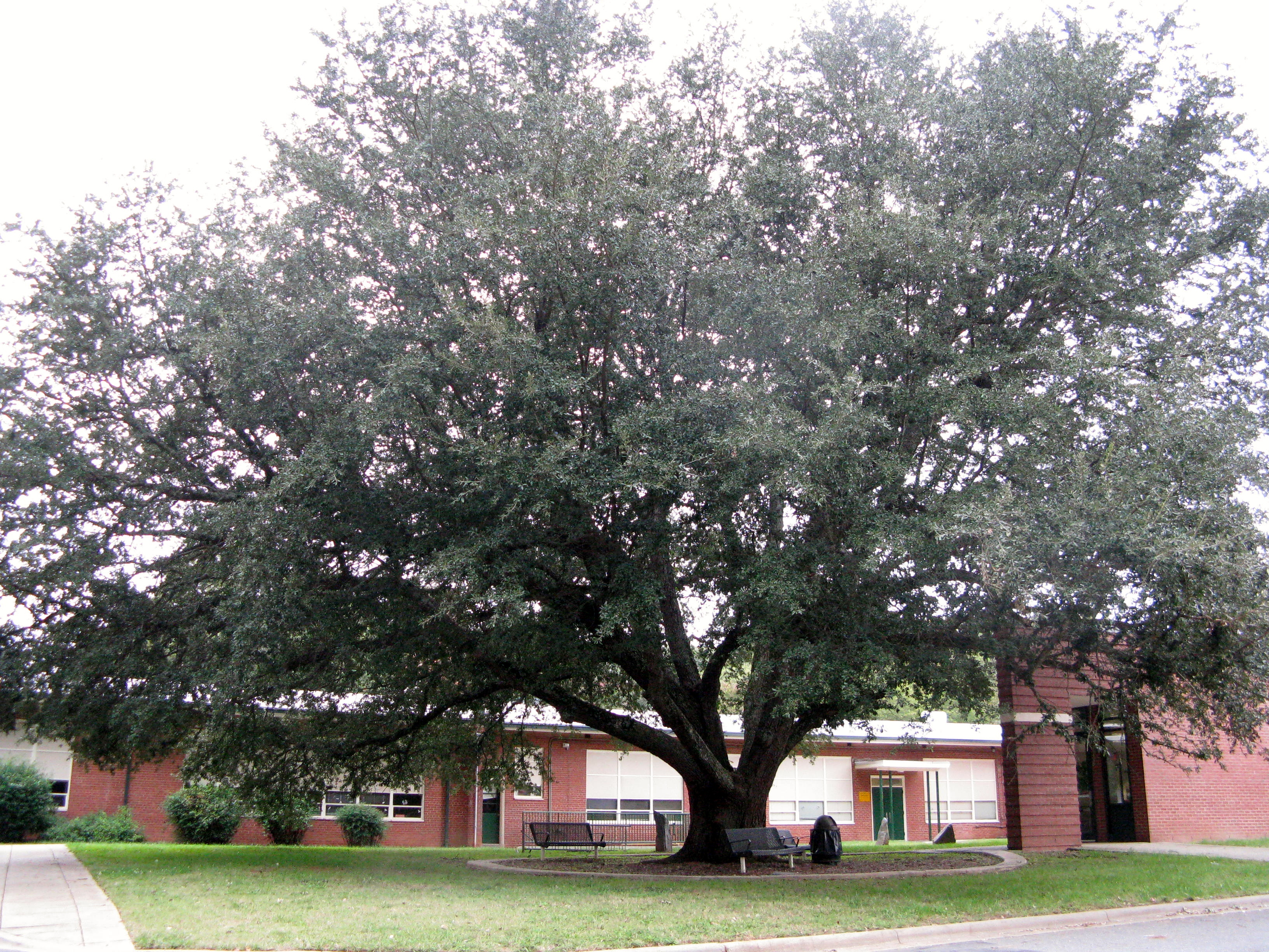 Live oak tree at Park Road Montessori